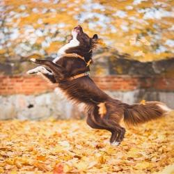 Fall in love 🍁 @rautamarika aux couleurs de l'automne dans son harnais #dogcopenhagen  Avez-vous participé au concours @malcolm_the_akita pour gagner l'ensemble Dog Copenhagen aux couleurs de votre choix ? Dépêchez-vous, le concours se termine dimanche 🌟 Bon we a tous 🐾 . . . #harnaisdogcopenhagen #dogcopenhagencomfortwalkair #harnaischien #moustaches #accessoireschien